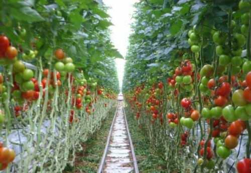 Draaien pomidora (z doświaczeniem)